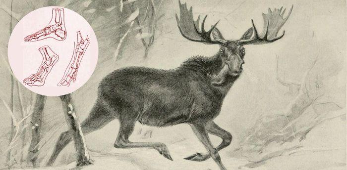 Стопа грызуна и человека – родоначальник собачьих лап и лошадиных копыт Млекопитающие, Стопоходящие, Пальцеходящие, Копытные, Эволюция, Адаптация
