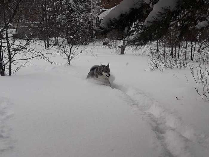 Шерстяной волчара. Собака, Волк, Дача, Шерстяной волчара, Длиннопост