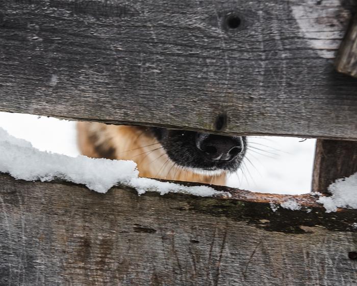Ты это, заходи ели что.. Фотография, Собака, Немецкая овчарка, Зима, Беларусь, Могилев