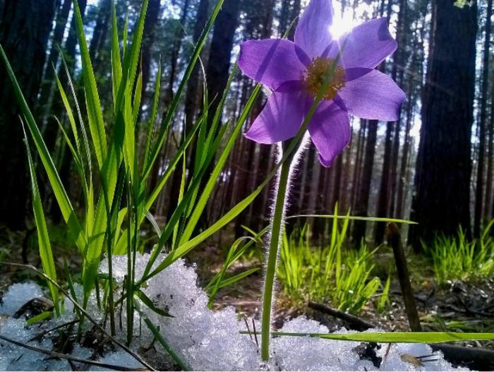 Сон-трава Подснежники, Прострел, Цветы, Весна