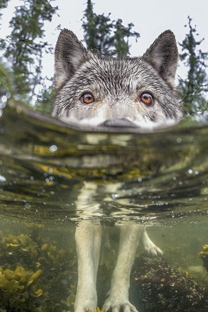 Серенький волчок Волк, Фотография, Вода, Природа, Животные