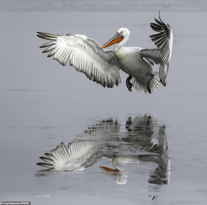 Пеликанам не нравится, что их озеро в Греции замерзло Пеликан, В мире животных, Греция, Озеро, Красавчик, Длиннопост