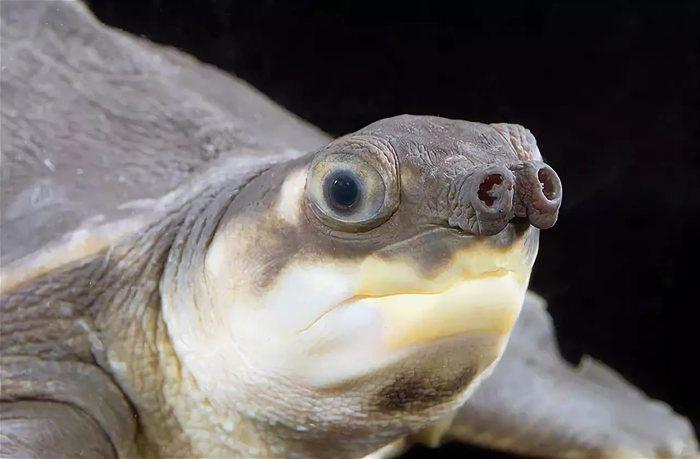 Свиноносая черепаха и новый год. Пензенский океанариум, Свиноносая черепаха, Океанариум, Видео, Длиннопост