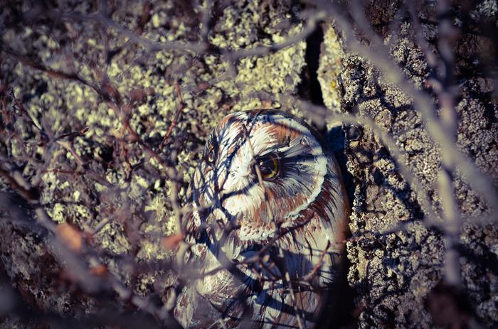 Сова. Роспись камня. Роспись по камню, Сова, Птицы, Акрил, Алтай, Роспись, Болотная сова
