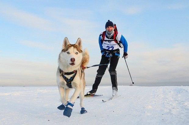 Немного про ездовой спорт Спорт, Хобби, Собаки и люди, Собака, Ездовой спорт, Хаски, Аляскинский маламут, Длиннопост