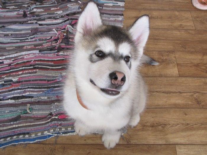 Почему маламут? Собака, Аляскинский маламут, Длиннопост