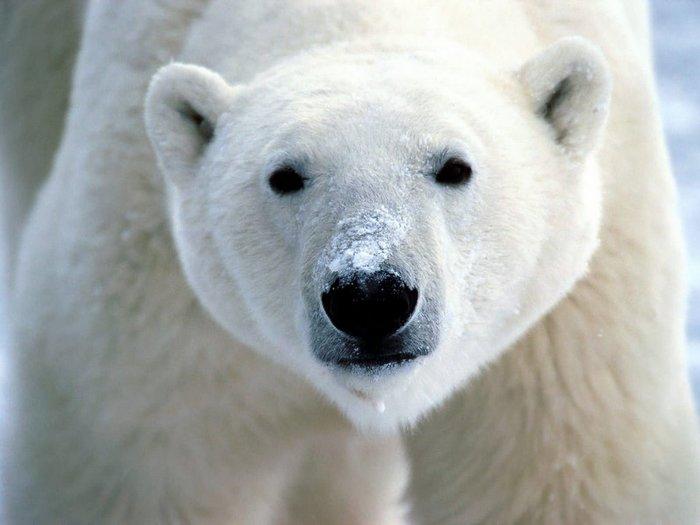 На Новой Земле ввели режим ЧС из-за нашествия белых медведей Белый медведь, Дикие животные, Новая земля, Чрезвычайная ситуация