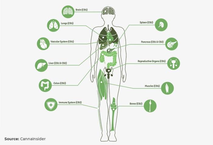 Как марихуана влияет на мозг? Наркотики, Марихуана, Мозг, Биология, Интересное, Гифка, Длиннопост