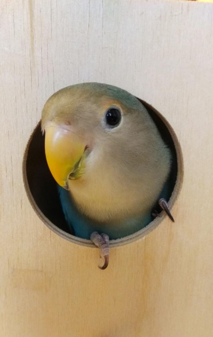 Хоха Попугай, Неразлучники, Попугай Тотоша