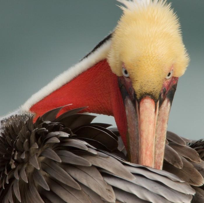 Коричневый пеликан Пеликан, Фотография, Природа