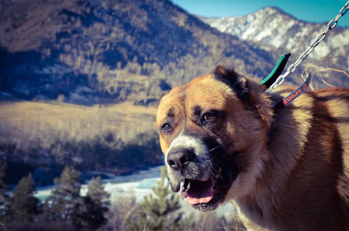 Прогулки по воде. Начинающий фотограф, Горный Алтай, Собака, Алабай, Горы, Длиннопост