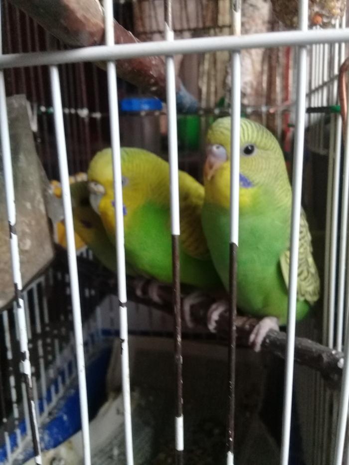Птички подросли Попугай, Волнистые попугаи, Птицы, Милота, Длиннопост