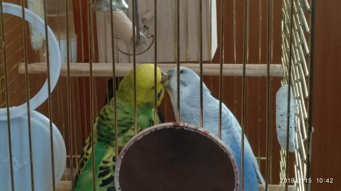 Чмоки-чмоки Попугай, Поцелуй, Милота, Фотография