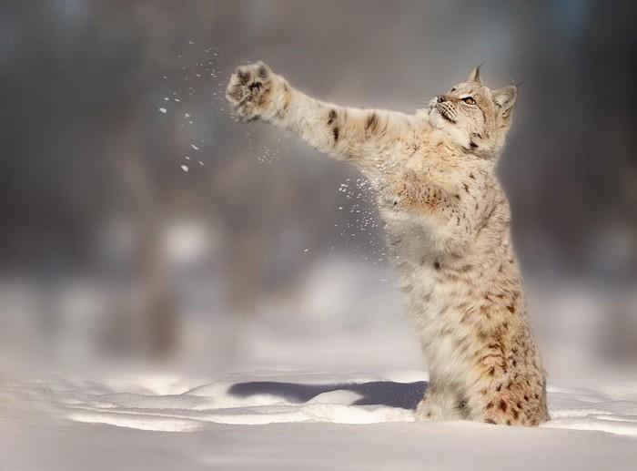 Мощная лапища Фотография, Животные, Рысь, Дикая природа, Снег