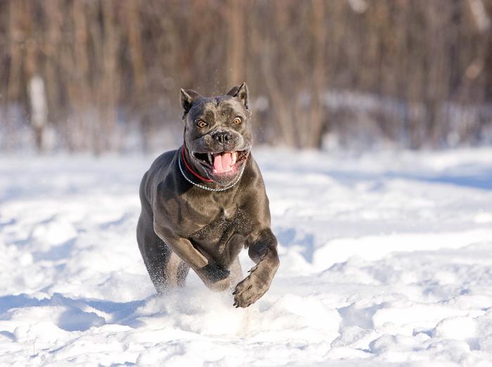 Пятница! Собака, Собачьи будни, Фотография, Животные, Кане-Корсо