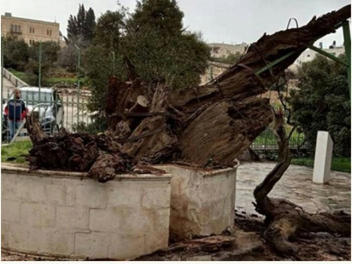 Сбылось пророчество о скором конце света: в Палестине рухнул дуб Авраама Религия, Библия, Израиль, Палестина, Дерево, Пророчество, Конец света