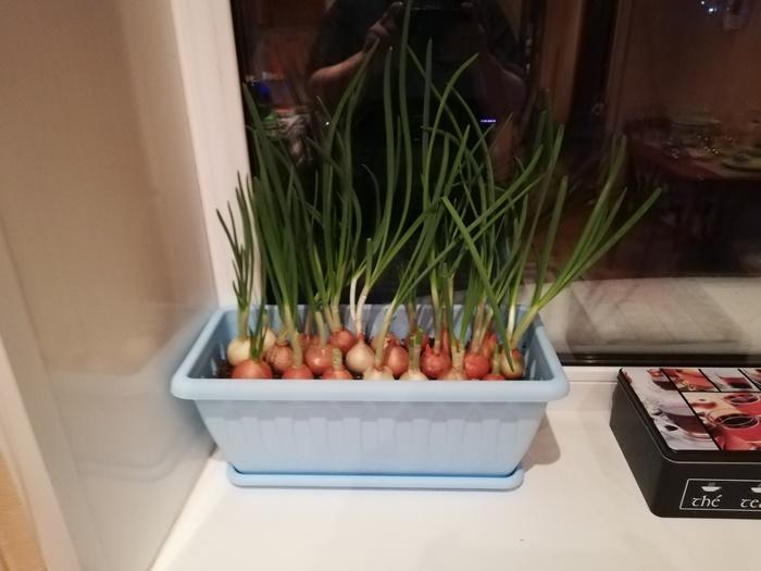 Небольшая плантация. Выращивание дома, Садоводство, Лук