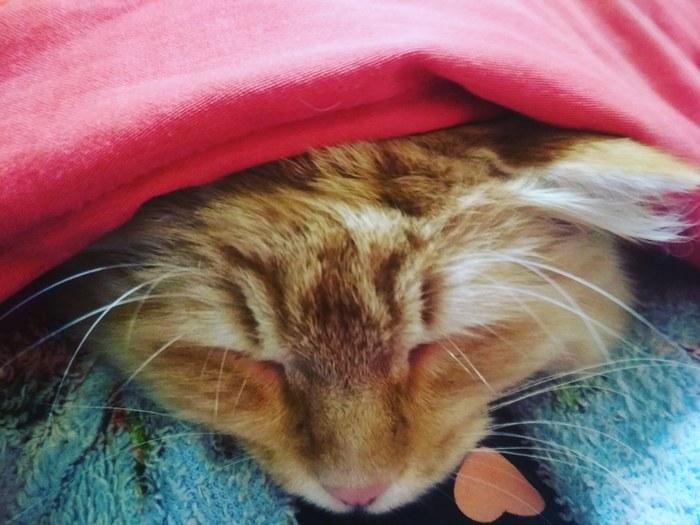 Сэр Артур спит со мной. Милота, Кот, Питомец, Домашний любимец, Сон, Домашние животные
