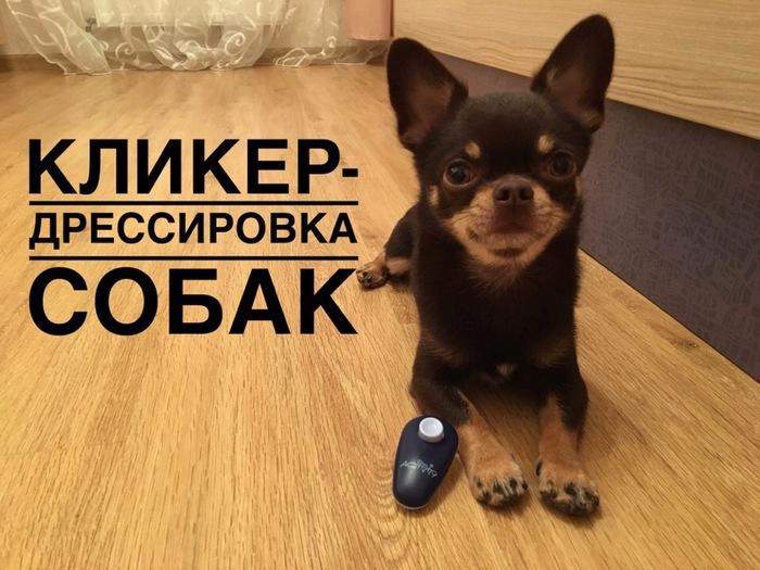 Кликер-дрессировка собаки Чихуахуа, Дрессировка, Чихуашка, Собака, Дрессировка собаки, Чихуахуа арчи, Видео, Длиннопост