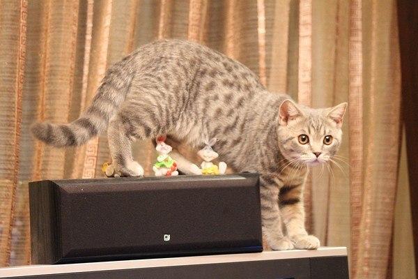 Немного котэ в ленту. Кот, Британский кот, Длиннопост
