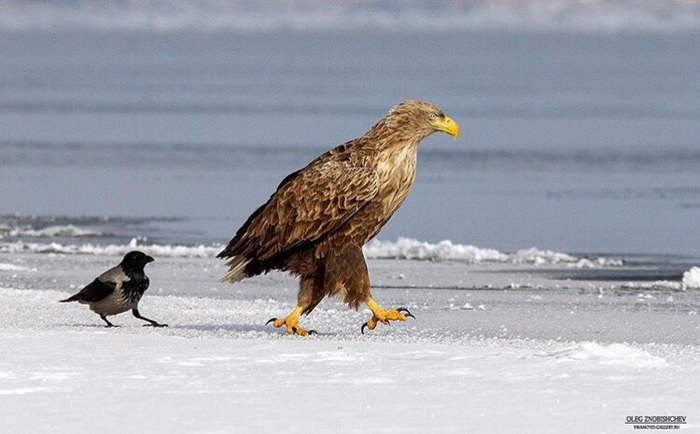 Когда очень нужно поговорить с преподавателем Орел, Преследование, Птицы, Снег, Побережье