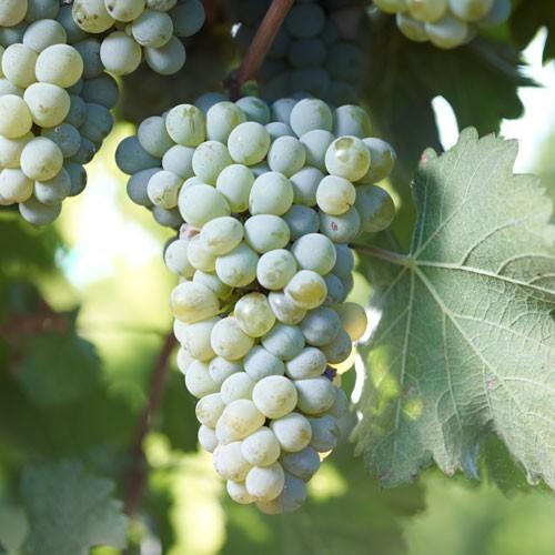 Сорта в бокале. Совиньон блан Вино, Культура пития, Белое вино, Виноград, Длиннопост