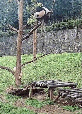 Жизнь панды и опасна и трудна