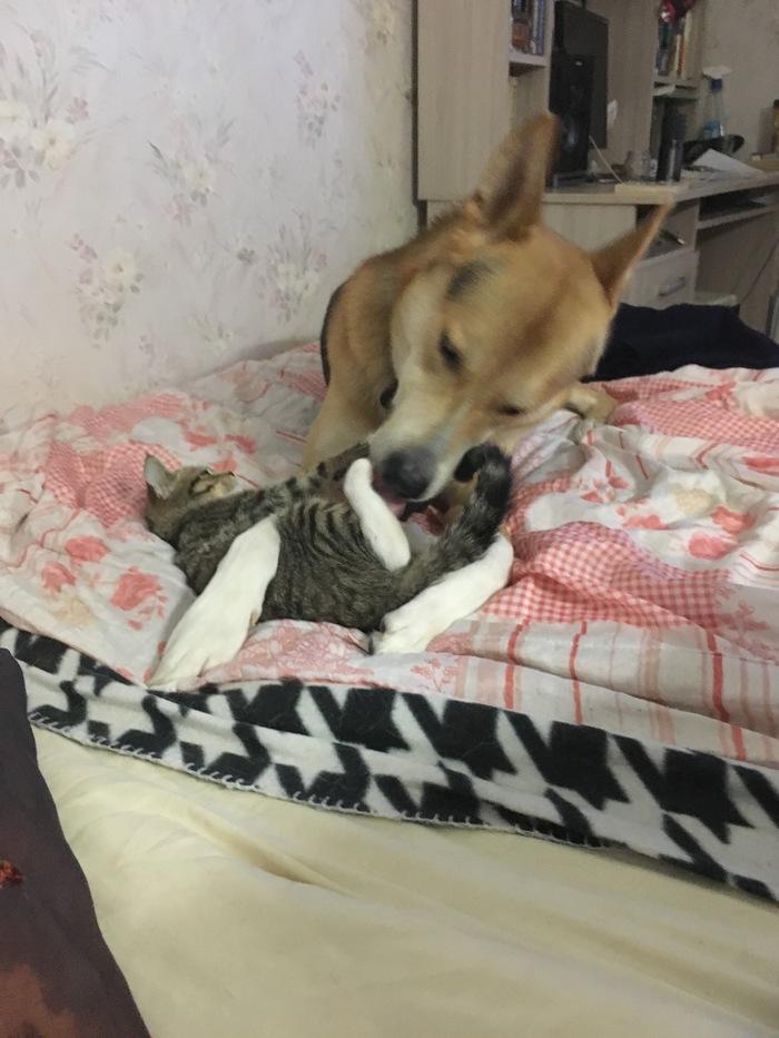 Не Котопятница, но вот вам в ленту Коты и собаки вместе, Длиннопост, Кот, Собака, Домашние животные