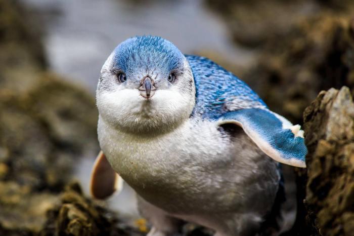 Голубой пингвин Пингвины, Птицы, Милота