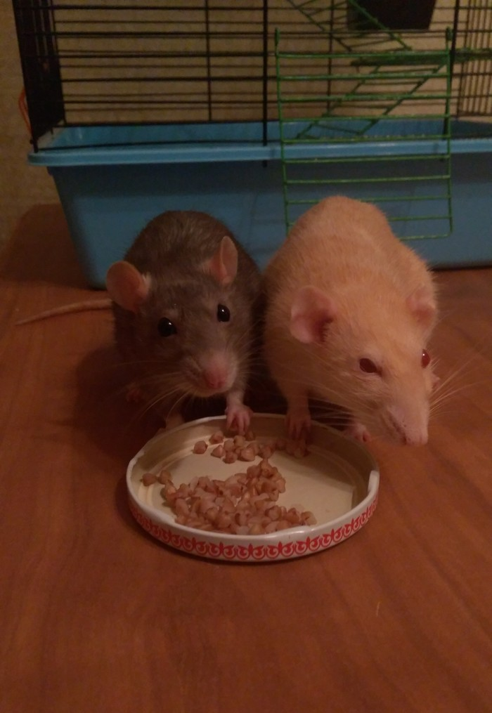 Крысий пир