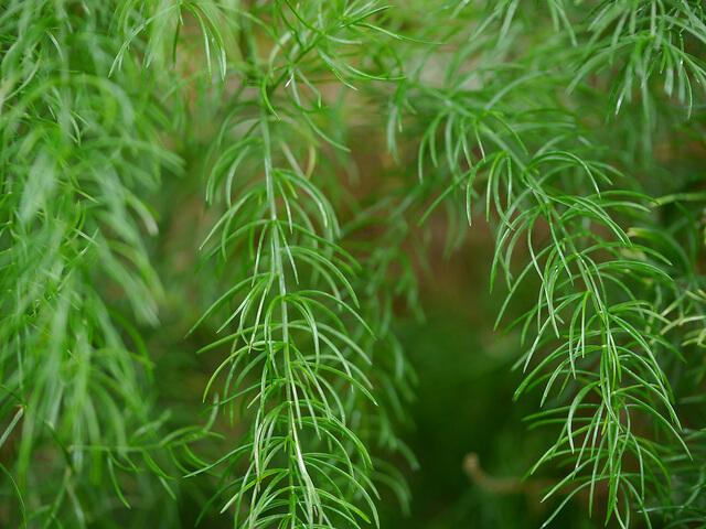 Нежный аспарагус в доме Аспарагус, Комнатные растения, Домашние цветы, Длиннопост