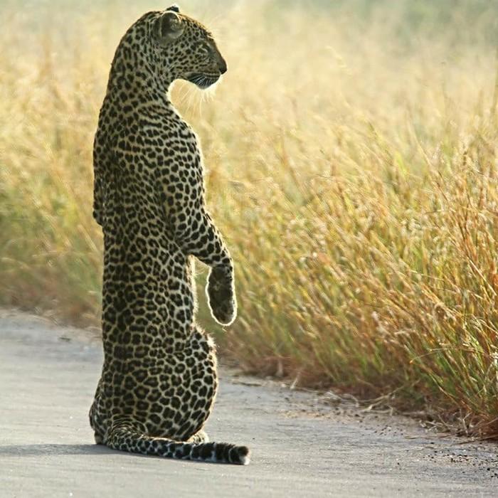 Суслик я или леопард? Фотография, Животные, Леопард