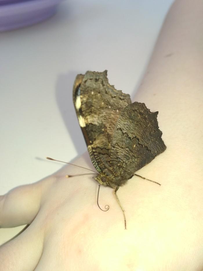 Новый питомец. Бабочка, Весна приди, Насекомые, Домашнее насекомое, Видео, Длиннопост