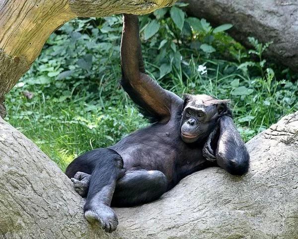 Бонобо - самые любвеобильные обезьяны. Обезьяна, Сексуальность, В мире животных, Продолжение рода, Длиннопост, Бонобо