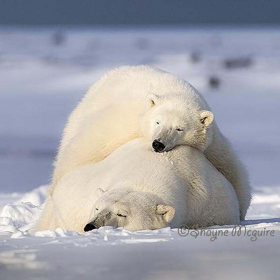 Так теплее Фотография, Животные, Медведь, Белый медведь, Детеныш