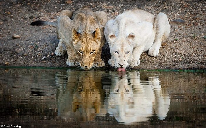 Красавцы львы Лев, Благотворительность, Фотография, Длиннопост, Животные