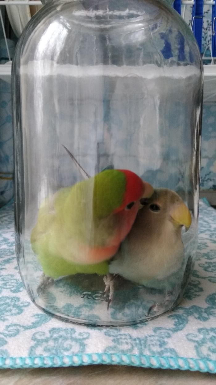 Пернатая банда Попугай, Неразлучники, Попугай Тотоша, Банка, Побег, Видео, Длиннопост