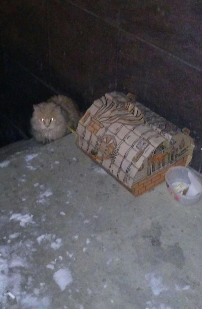 Приютили мейн-куна. Мейн-Кун, Кот, Спасение животных, Длиннопост