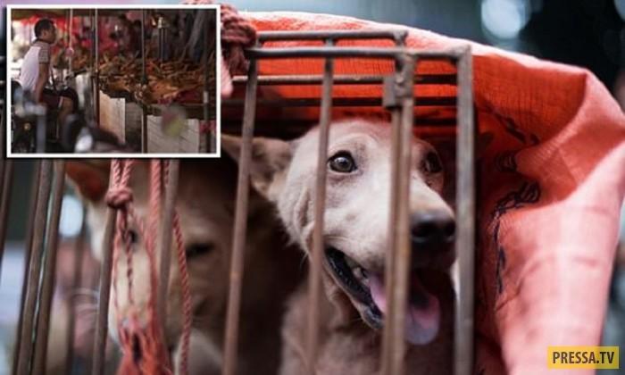 Поедание собачьего мяса в Китае: 10 миллионов собак в год! 18+, Жесть, Длиннопост, Собака, Китай, Живодеры, Не гуманно