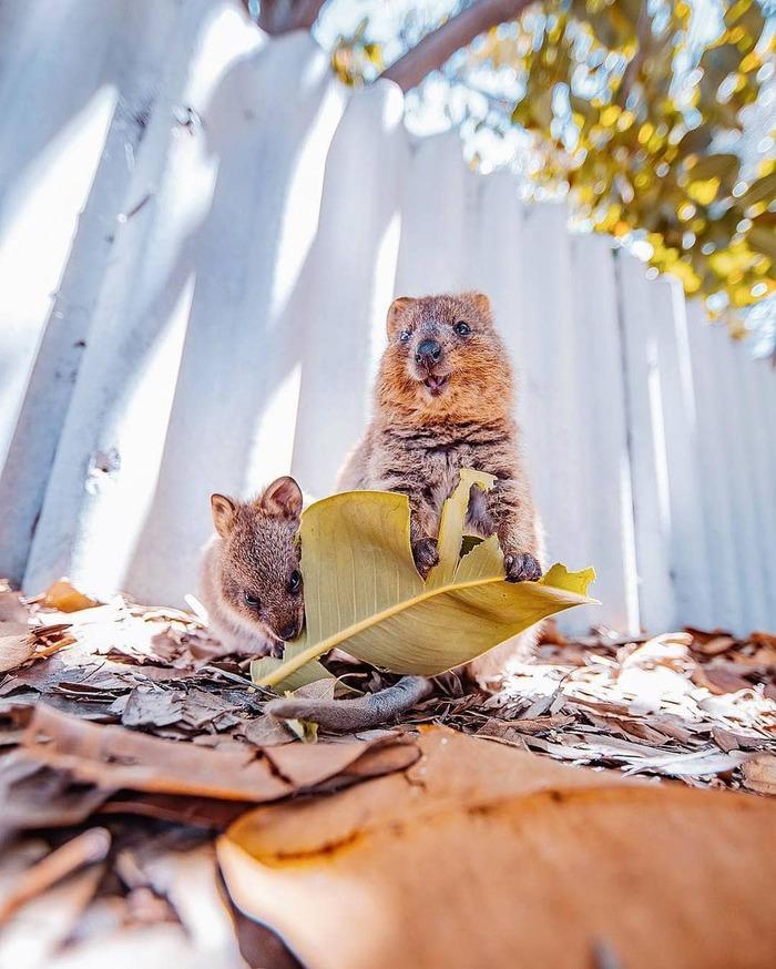 15 снимков жизнерадостных квокк от фотографа из Москвы, которая лишь ради них прилетела в Австралию Квокка, Австралия, Длиннопост, Животные