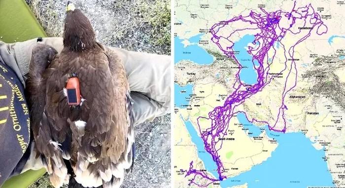 Орнитолог разоблачил историю про орла, который летал по миру с трекером 20 лет. Да, похоже, это был фейк. Птицы, Трекер, Полет, Фейк, Разоблачение, Длиннопост, Орел
