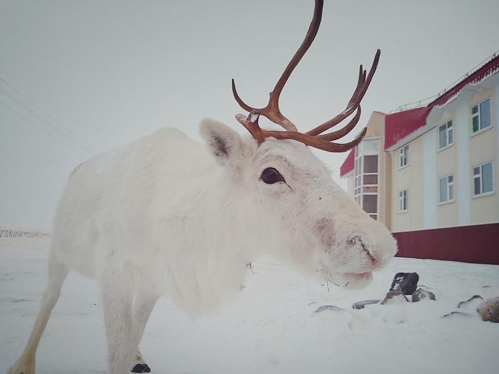 Жители севера Северные олени, Заполярье, Длиннопост