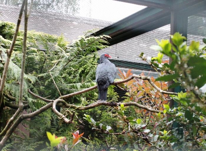 Голуби парка птиц Вальсроде Голубь, Птицы, Германия, Экзотика, Длиннопост