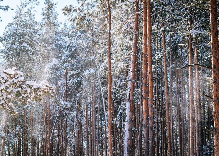 Сосновый лес неподалеку от п.Дубравный, Нижний Новгород.