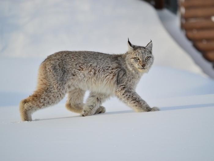 Молодая рысь пришла в гости Рысь, Дикие животные, Кроноцкий заповедник, Камчатка, Природа, Длиннопост