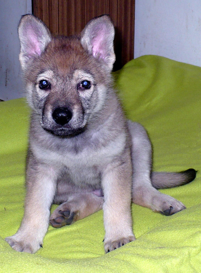 Якутский водитель белаза, подобрал щенка, которая с ним прожил 6 месяцев, после чего выяснилось, что это волк [ФЕЙК] Якутия, БЕЛАЗ, Щенки, Волк, Длиннопост