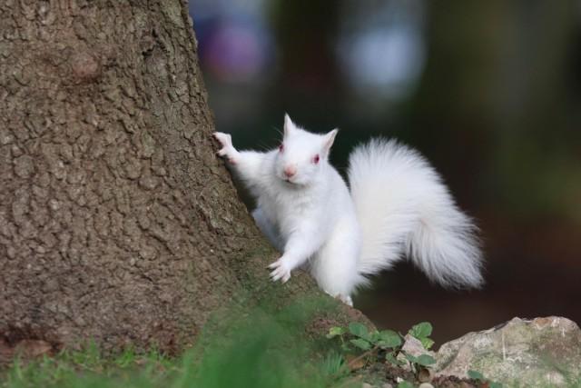 Великобритания, Истборн. Редкая белка-альбинос была замечена в парке в Истборне, когда собирала орехи.