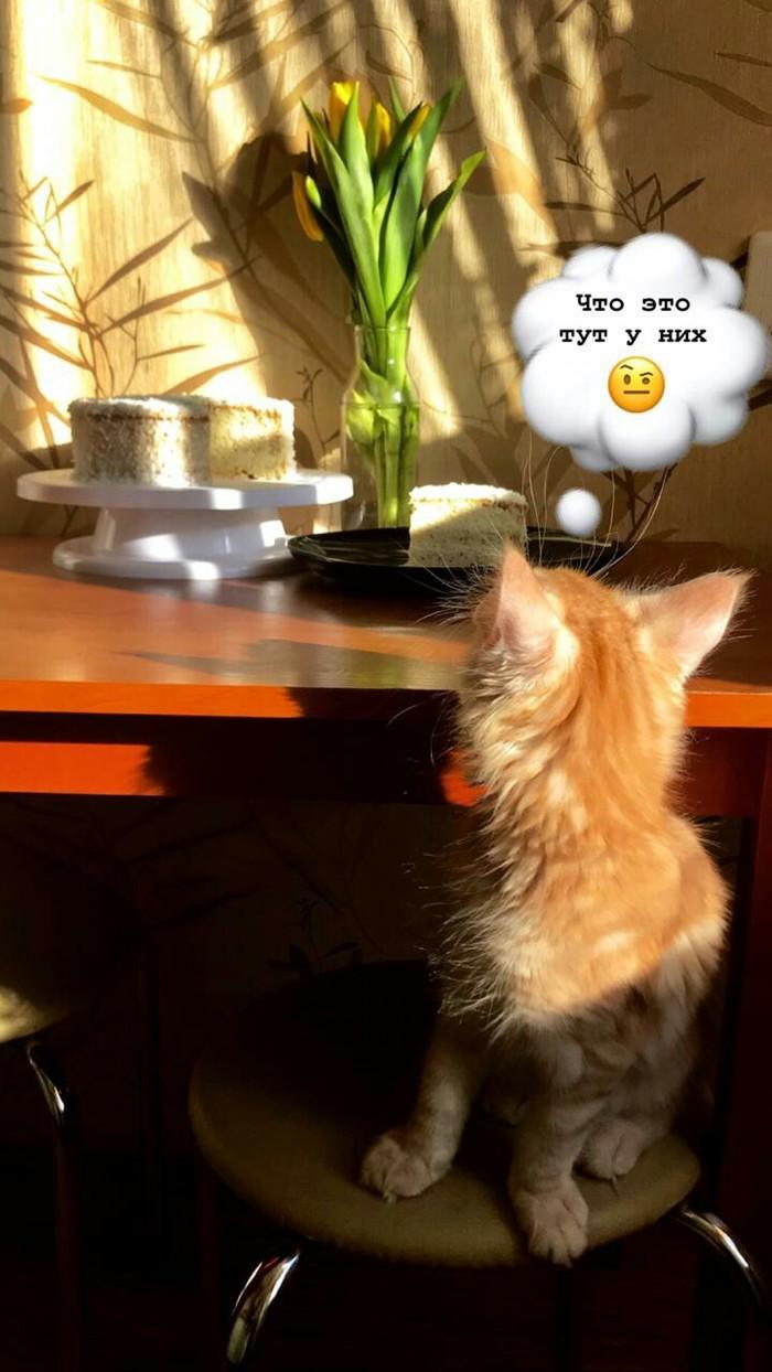 Домашняя инспекция Мейн-Кун, Торт, Рыжий, Длиннопост, Кот, Домашние животные