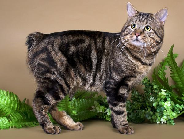 Курильский бобтейл – это удивительная кошка с пушистым помпоном вместо хвоста. Курильский бобтейл, Породистые кошки, Длиннопост, Кот, Домашние животные