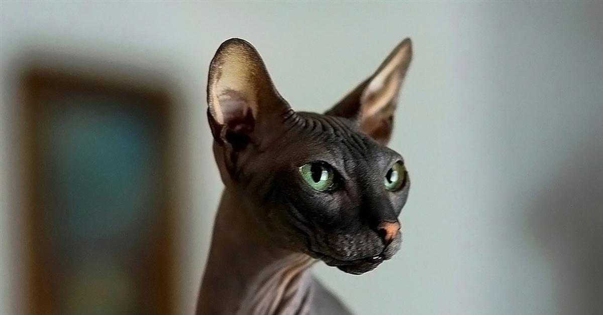 этого сфинкс черный кошка картинки родственниками понимались мужья
